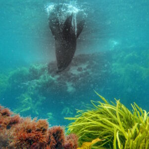 Montague Island Dive with Seals 03 sq