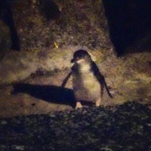 Montague Island Little penguins 02
