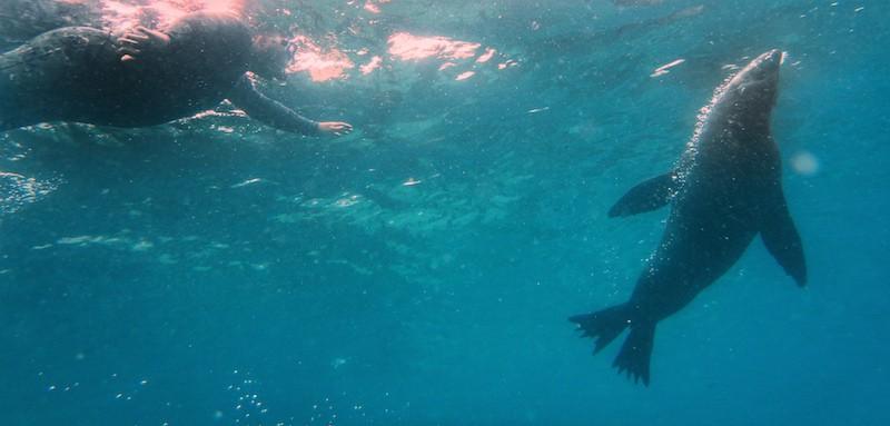 Montague Island Snorkel with Seals 01 pano