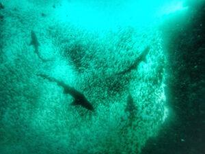 Port Stephens - Broughton Island - Grey Nurse Sharks 02