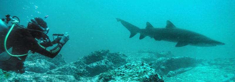 South West Rocks Diving - Grey Nurse Shark