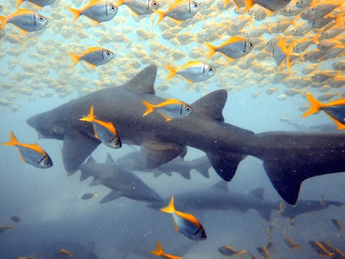 Port Stephens Grey Nurse Shark Dive 02
