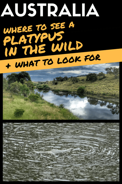 where to see a platypus in the wild and what to look for