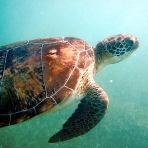 Akumal Snorkeling Turtle