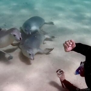 Australia Bucket List Snorkelling with Sea Lions