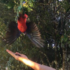 Lamington National Park Bird Feeding