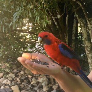 Lamington National Park Hand Feeding Bird