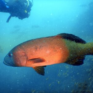 SS Yongala Dive - Coral Trout