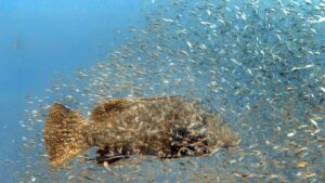 SS Yongala dive - Giant Queensland Groper