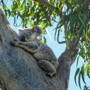 Things to do Magnetic Island Day Trip - Koala 02