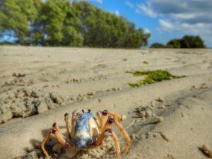 Moreton Bay Crab