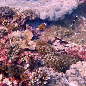 Diving Flinders Reef Clownfish
