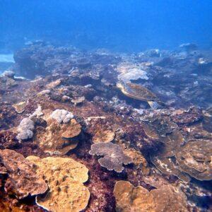 Flinders Reef Diving Turtles