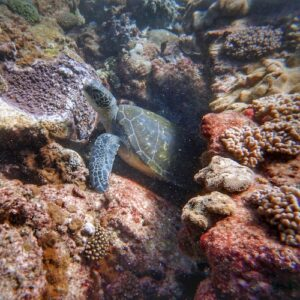 Scuba Diving Brisbane Flinders Reef Turtle Moreton Bay