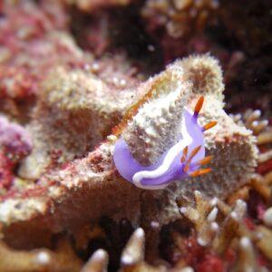 Scuba Diving Flinders Reef Brisbane Moreton Bay Nudibranch