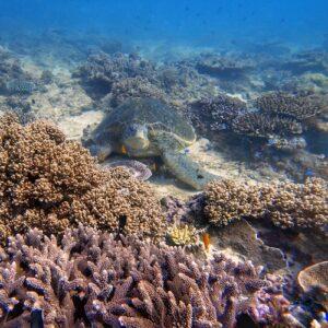 Scuba Diving Flinders Reef Turtle