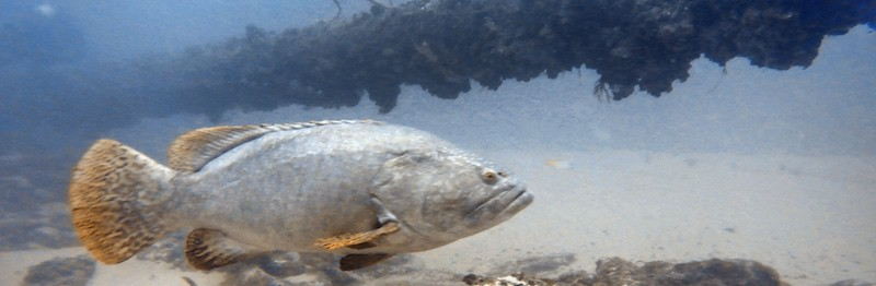 Gold Coast Seaway diving grouper