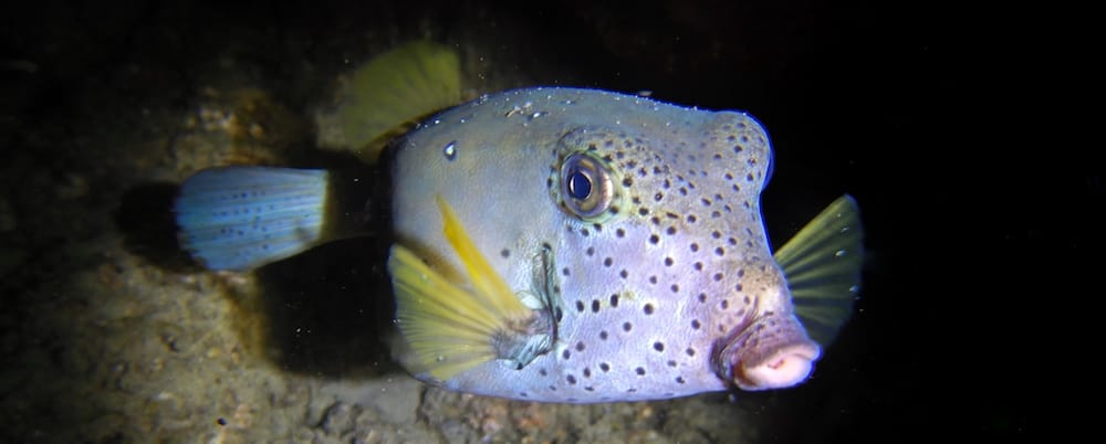 Gold Coast Seaway night dive boxfish