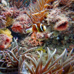 Kirra Reef Clown Fish