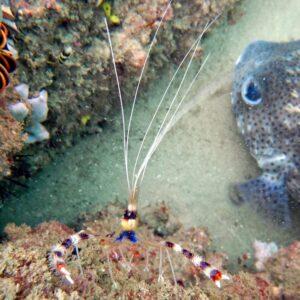 Kirra Reef Shrimp