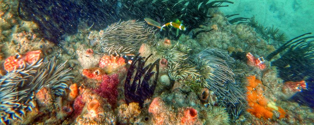 Snorkelling Kirra Reef - Clownfish