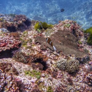 Anemonefish and coral North Solitary Island Scuba Diving
