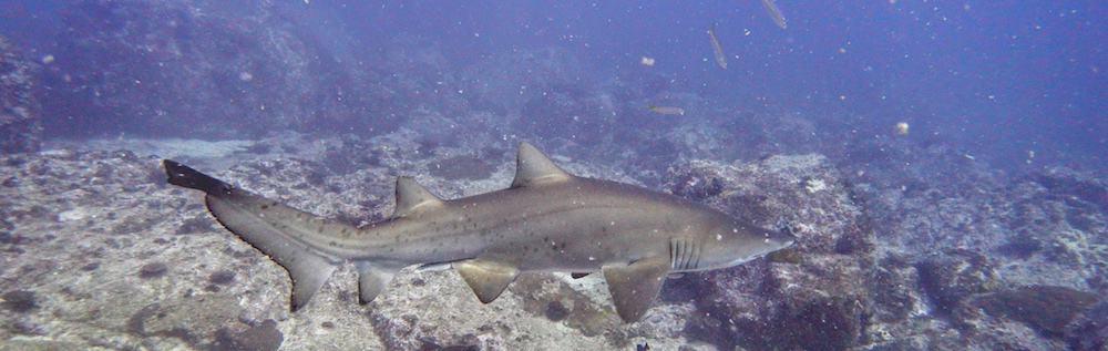 Grey Nurse Shark scuba diving the steps north solitary island wooli