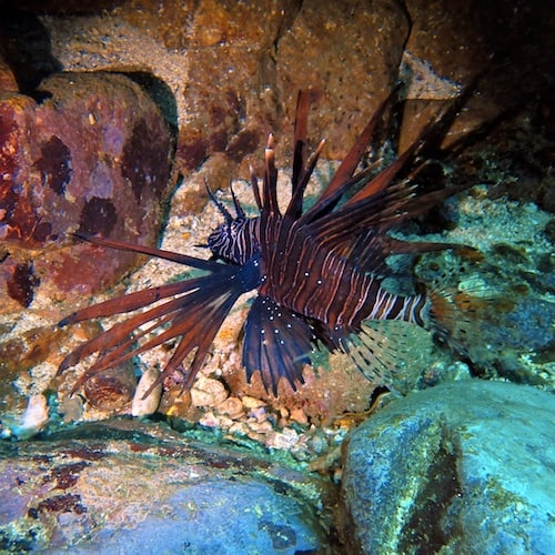 Lionfish scuba diving north solitary islands wooli