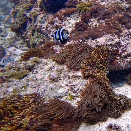 North Solitary Island Anemone Bay Olive fish