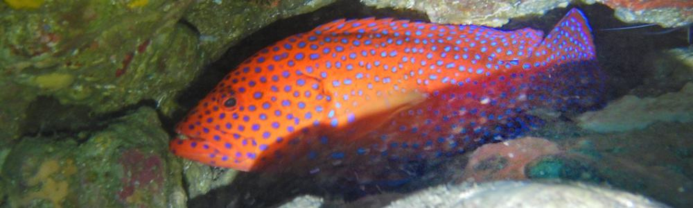 North Solitary Island Coral Trout Scuba Diving