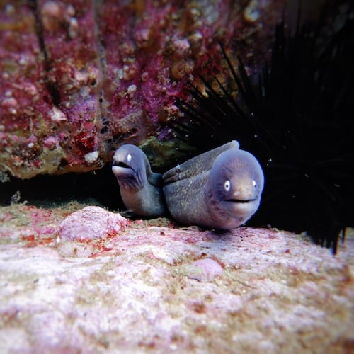 North Solitary Island Wooli Scuba Diving Moray Eels