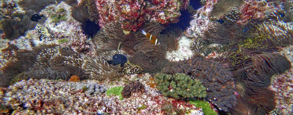 North solitary island scuba diving anemonefish