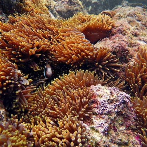 Wooli North Solitary Island Scuba Diving Anemone Bay Clownfish