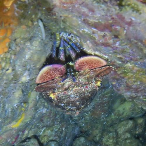 Wooli North Solitary Island Slipper Lobster