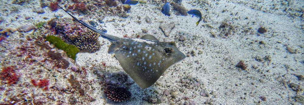 blue spotted ray scuba diving wooli north solitary island