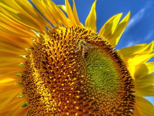 Bee in Sunflower Field Allora Queensland Australia