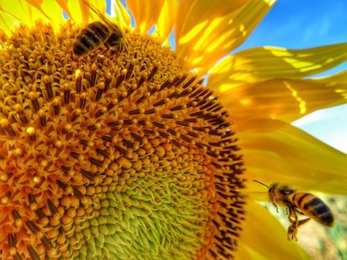 Bees in Sunflower Field Allora QLD Australia