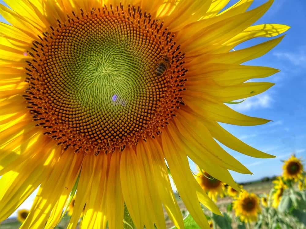 Close up of sunflower Allora Qld Australia