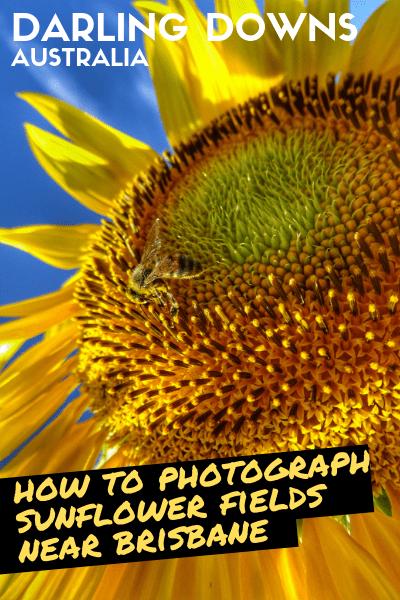 How to photograph sunflower fields Brisbane Qld Australia