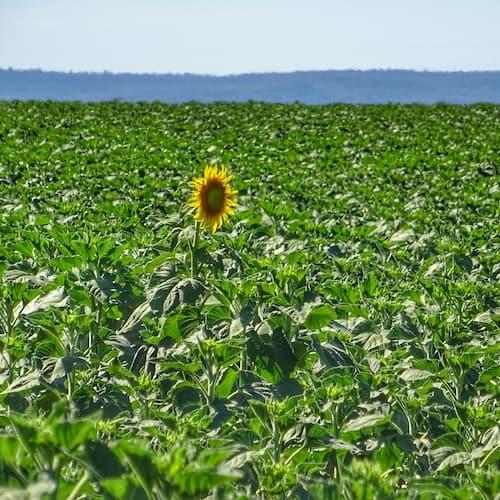 Sunflower Field One Open Allora Qld