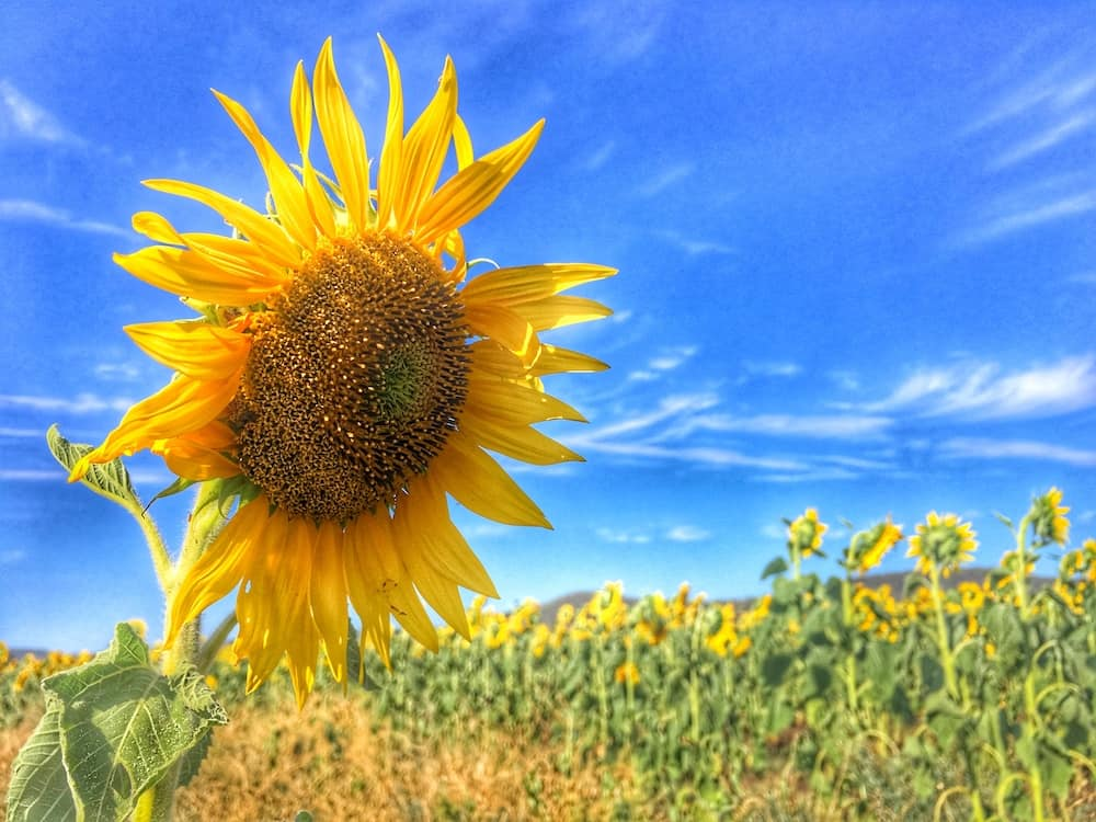 Sunflower Fields Allora Blue Sky
