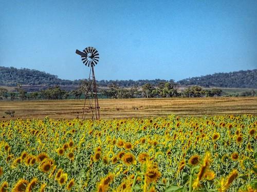 Sunflower Fields Near Brisbane Queensland Australia