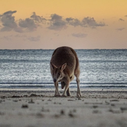 Wallaby with a baby in the poach on the beach at Cape Hillsborough near Mackay