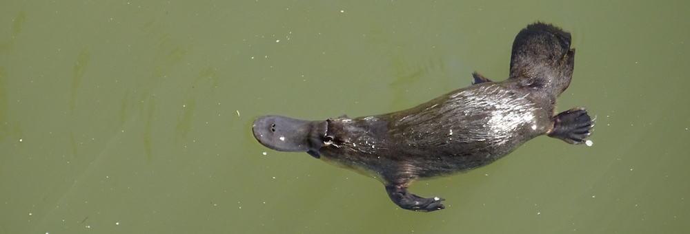 Broken River Mackay Platypus