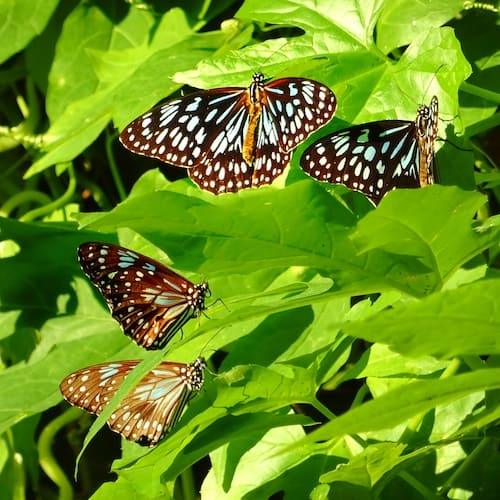 many butterflies in the bush at Cape Hillsborough